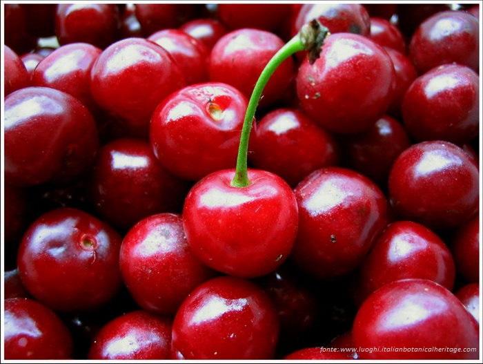 Frutta estiva - Amarena o visciola di Cantiano.